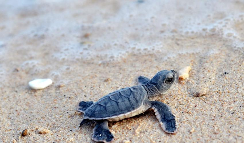 Chương trình bảo tồn rùa biển ở Côn Đảo